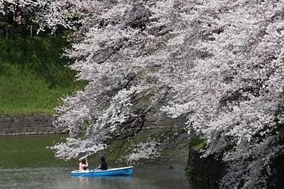 fond ecran de cerisier en fleur et du