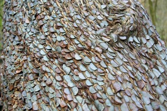 L'étrange coutume des arbres à monnaie - 4