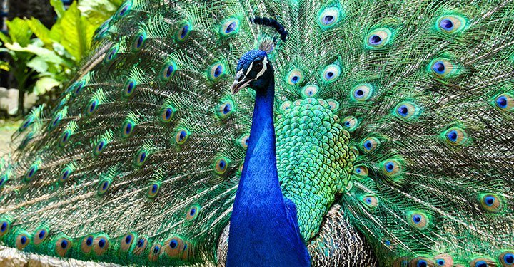 Peacock Facts For Kids Interesting Information About Peacocks Parentcircle