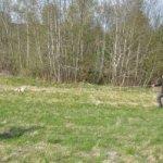 Bonzo spårar vildsvin KM 2012
