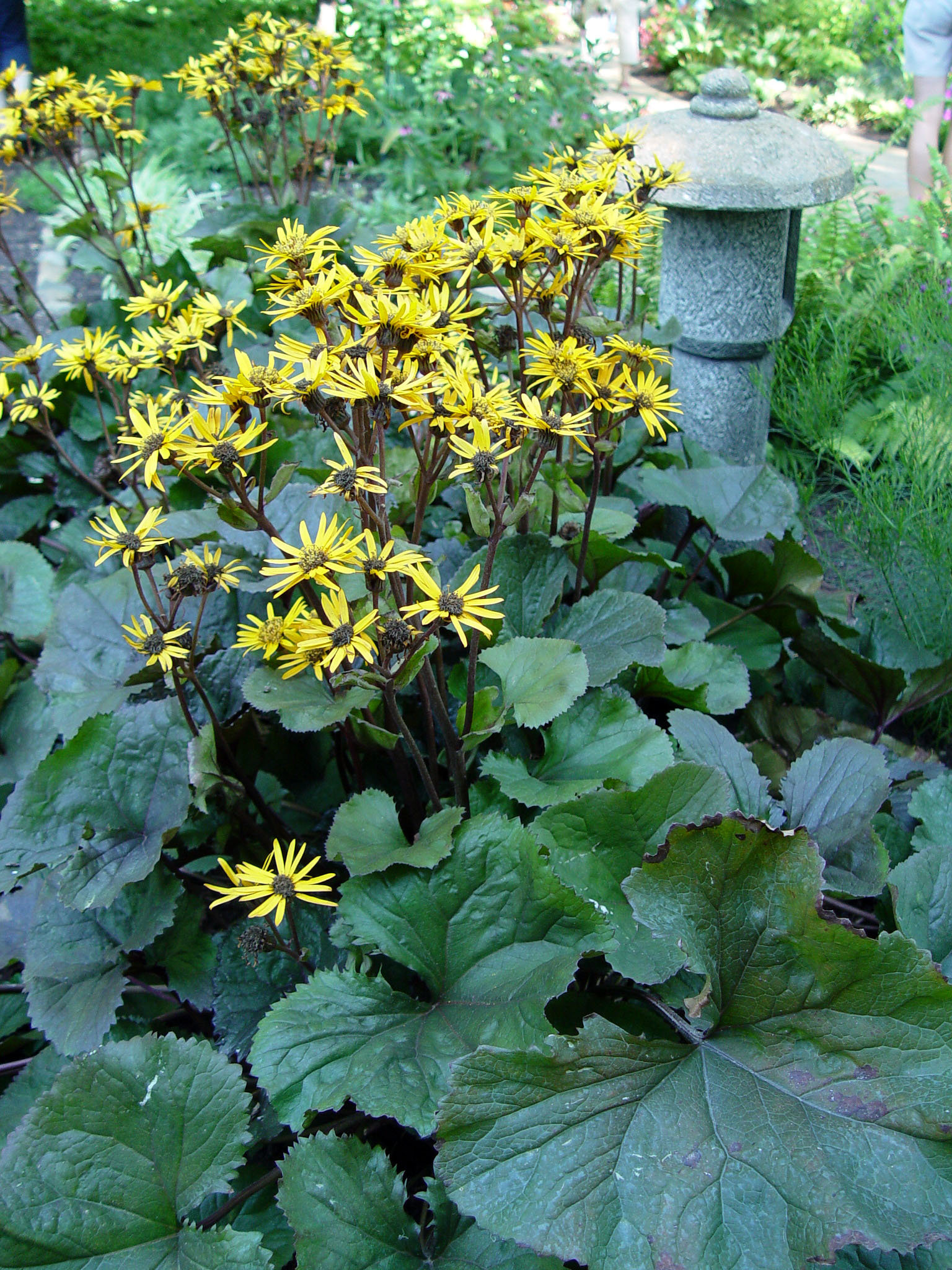 Can we grow ligularia here  PennLivecom