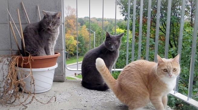 Gatti  Camminare sul balcone