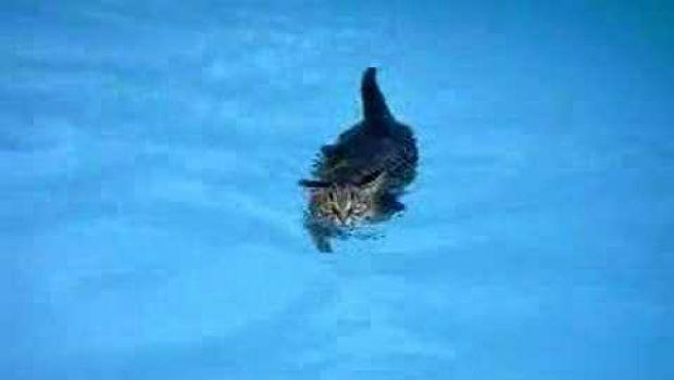 Video curiosi il gatto che nuota