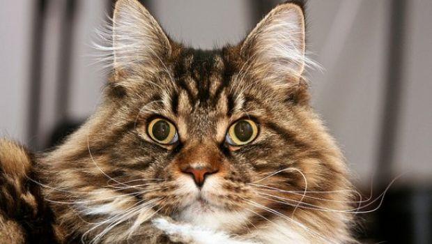 Poesie gatti Algernon Swinburne e il gatto a pelo lungo