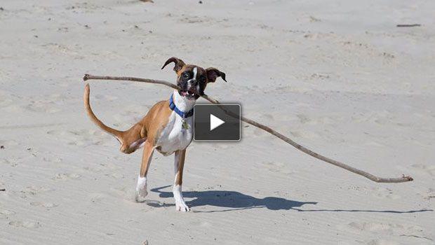 Video cane boxer senza zampe posteriori