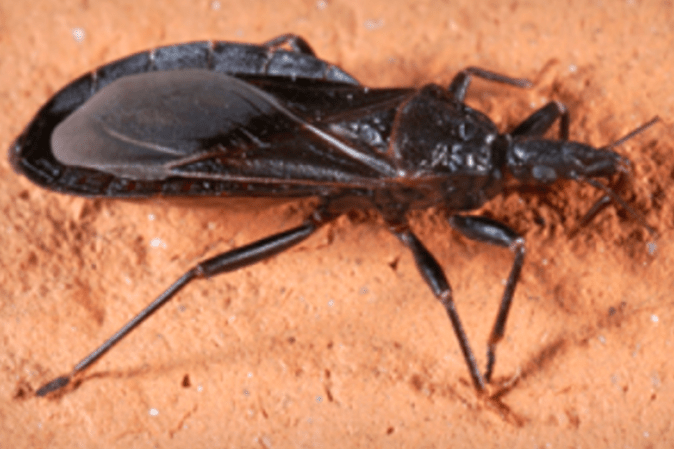 CDC Deadly Kissing Bug Sighted In Pa NJ PhillyVoice
