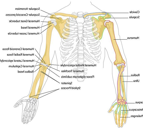 Rib Bone Anatomy