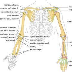 Diagram Of Skeletal Ribs Relay Base Wiring Drawing Medical Humanoid Health Bones Frames Human Fram