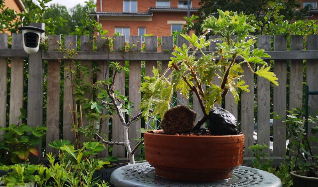 Rose geranium repotting and pruning