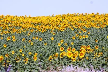 Sun Flowers Blooming in Grandola