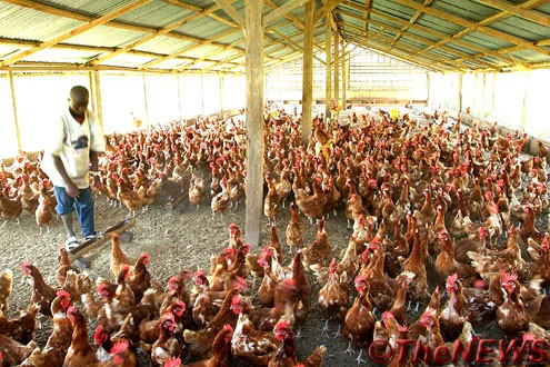 Poultry farm used to illustrate the story.