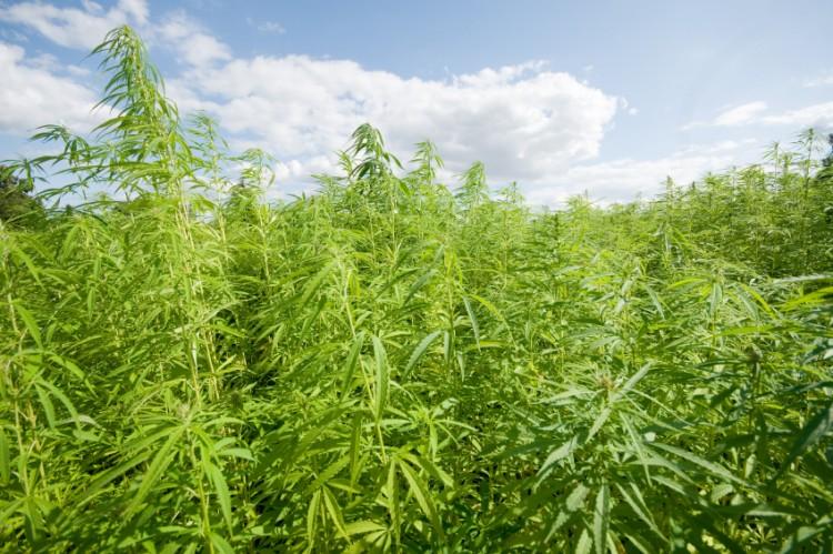 Indian hemp farm [www.marijuana.com]