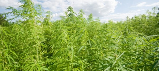 Indian hemp farm [www.marijuana.com]