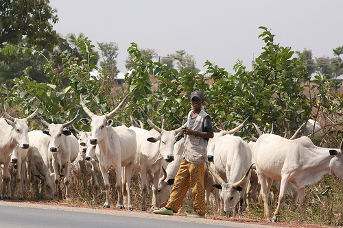 Man with cattle