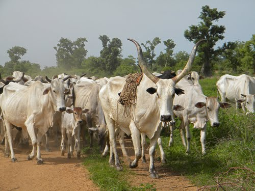 Cattle herd used to illustrate the story.
