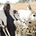 PIC. 11. FULANI'S HERDSMAN  CARRYING A CALF DURING THEIR MIGRATION ALONGWUNDI/RISHI TORO LOCAL GOVERNMENT AREA OF BAUCHI STATE ON  THURSDAY(29/12/11).