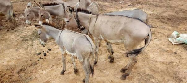 Donkeys used to illustrate the story.