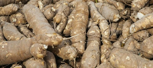 Cassava used to illustrate the story.