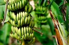 A banana tree used to illustrate the story [Photo: Australias Coral Coast]