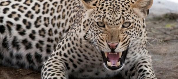 Leopard [Photo Credit: Leopard | African Wildlife Foundation]