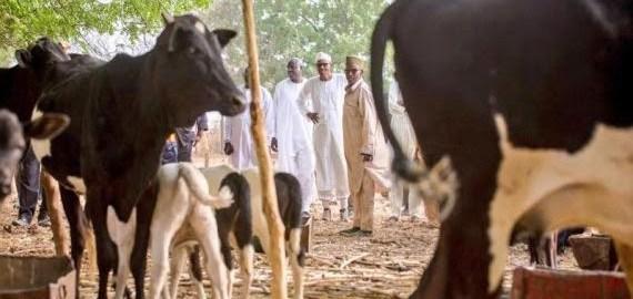 President Buhari's cattle