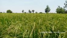 Healthy rice paddy, Jega