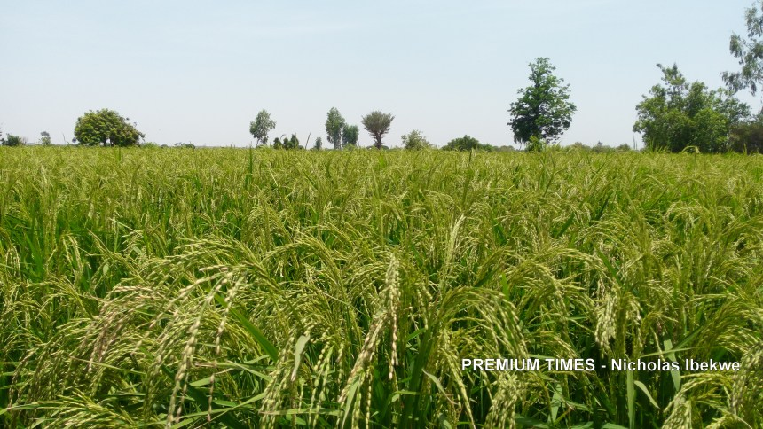 Healthy rice paddy, Jega