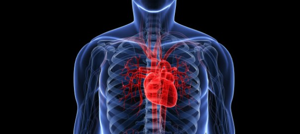 Human heart (Photo Credit: Huffington Post)