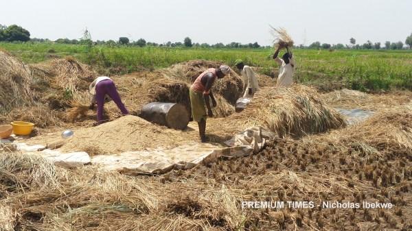Traditional method of thrashing harvested paddy