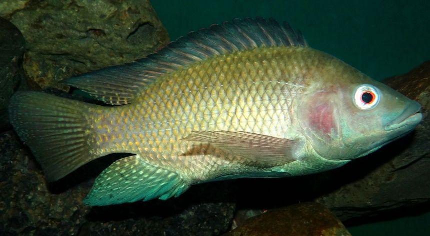 Tilapia fish (Photo Credit: wikipedia)