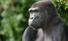 A gorilla used to illustrate the story (Photo Credit: National Zoo)