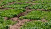 5. Wheat farm in Wurno