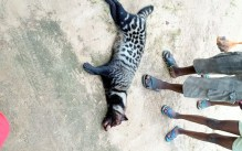 The African civet being displayed after it was killed by some young men2