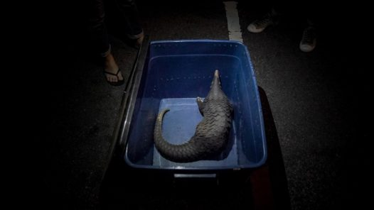 A pangolin rescued from an online wildlife trader during our undercover investigation. The pangolin was later released into the jungle by the Department of Wildlife and National Parks Peninsular Malaysia.