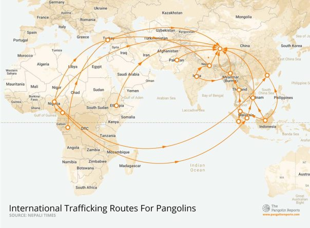 This map depicts the international routes used to traffic pangolins, spanning mostly within Africa and Asia. The majority of demand for pangolins is believed to be from China, where pangolins are consumed and its scales used in traditional Chinese medicine. Data: Nepali Times
