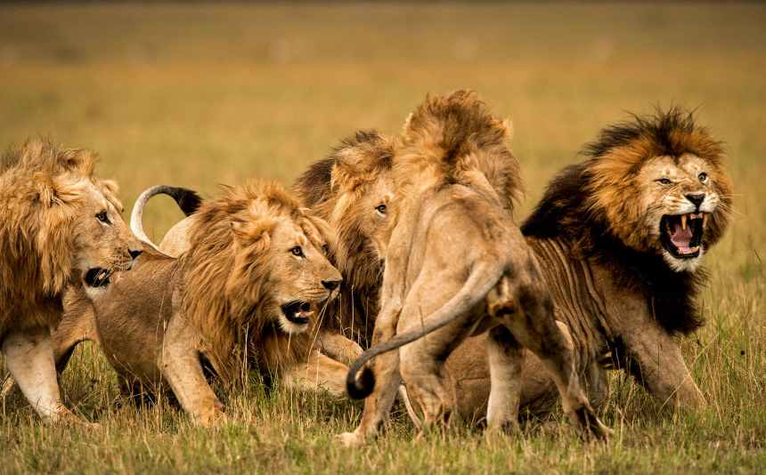 A pride of lions [Photo: Animal Care Fund]