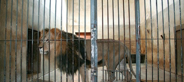 A caged Lion used to illustrate the story. [Photo credit: The Ballestero]