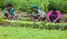 Women are cultivating water leaves in Esin Ufot, Akwa Ibom State, Nigeria, on May 12th, 2014.