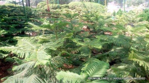 Alcaria plant