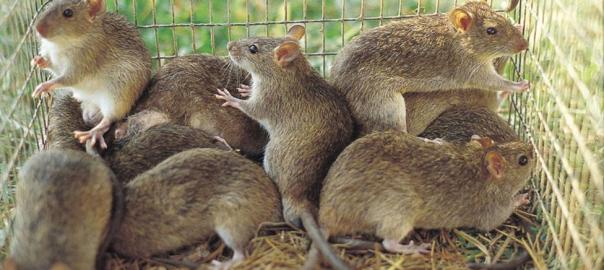 Rats used to illustrate the story. [PHOTO CREDIT: BBC]