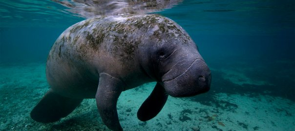 Manatee [PHOTO CREDIT: Animals|HowStuffWorks]