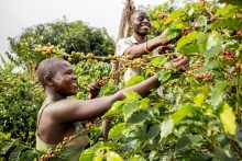 Coffee farmers during a harvest [PHOTO: the coffee partners]