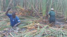 Ad hoc worker's cutting Grass in the water channel from Guri, Kirikassamma LGA of Jigawa