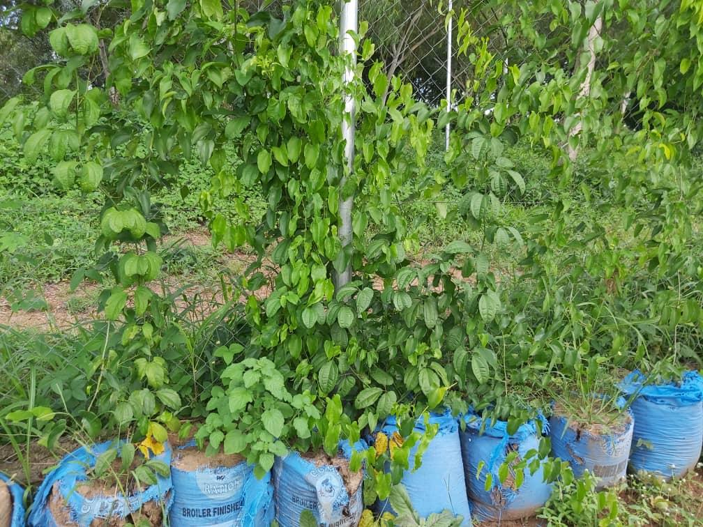 Sack farming(Yam)