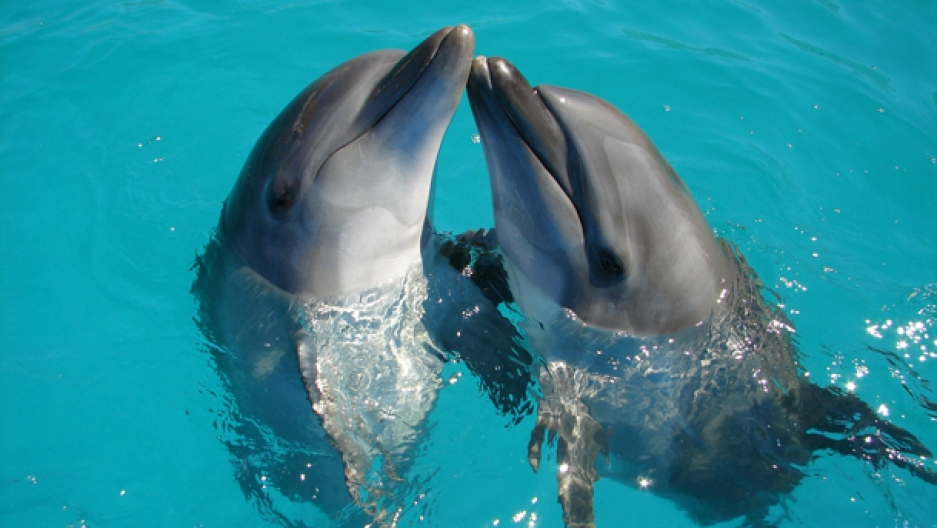 dolphin babies babble when
