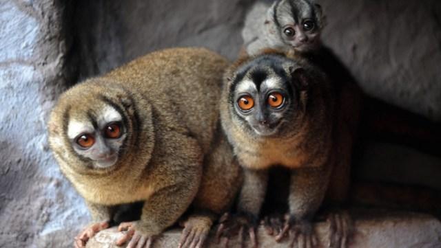 peruvian night monkey
