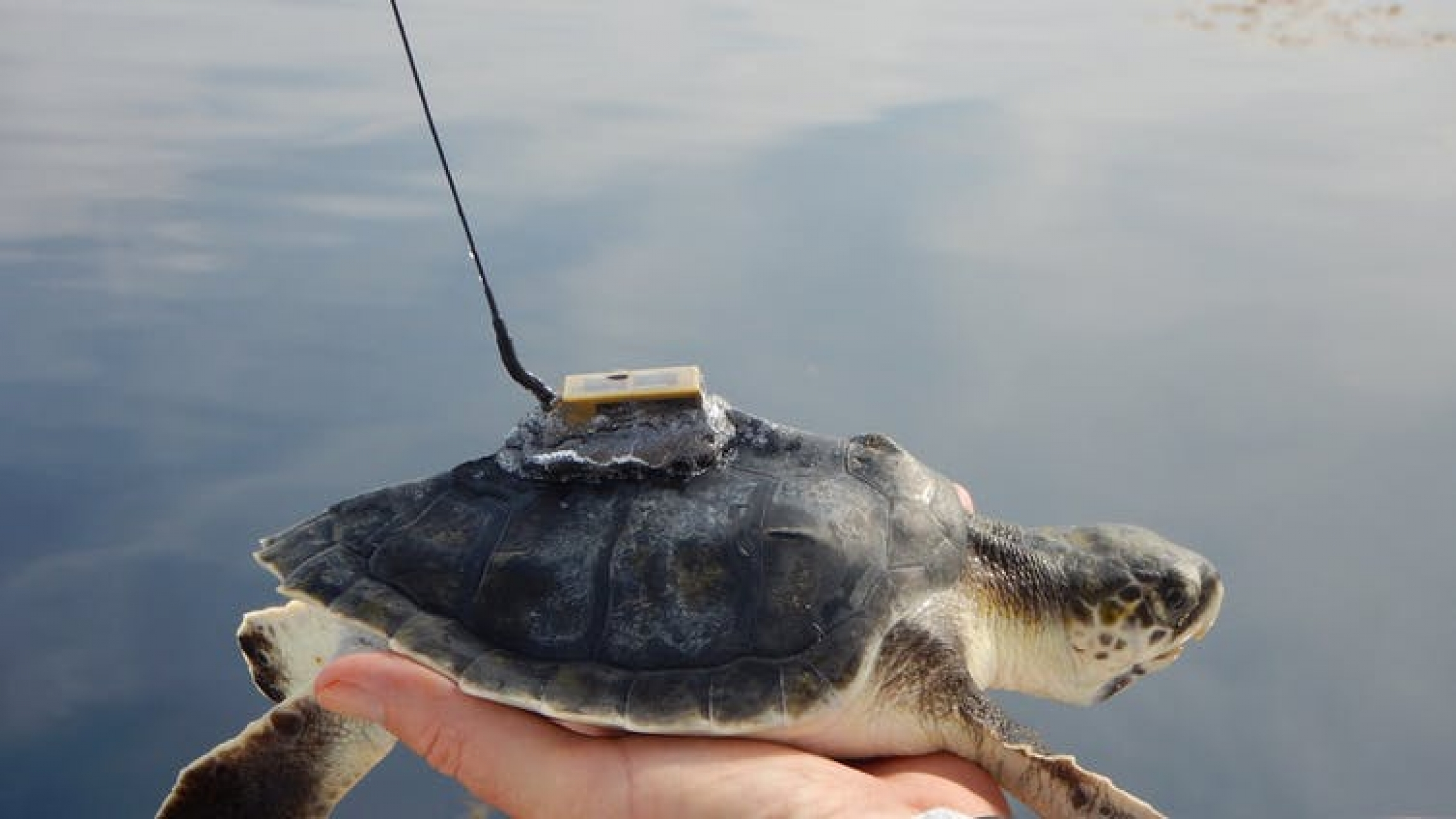 Beaches Are Becoming Safer For Baby Sea Turtles But