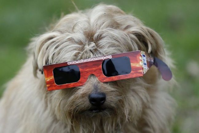 solar eclipse glasses on a dog