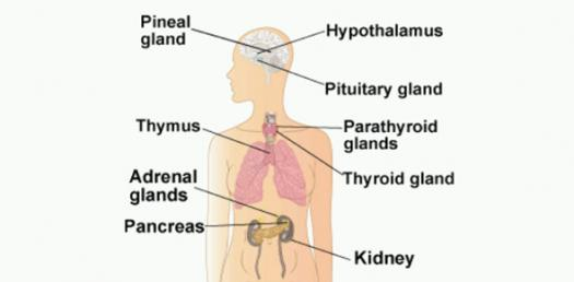 endocrine system diagram caravan light wiring learn about quiz proprofs