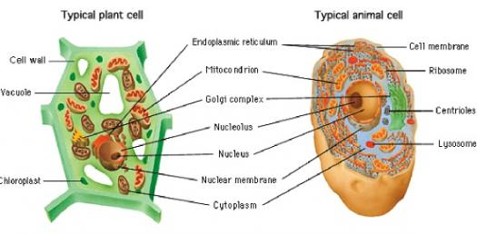 plant cell diagram animal simple drawing single phase ac generator wiring and organelles quiz proprofs
